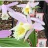Pleione grandiflora - Duo Pack