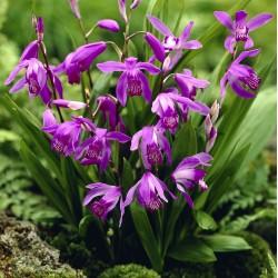 Bletilla striata 'purple' - Orchidée jacinthe - pot de 1 litre