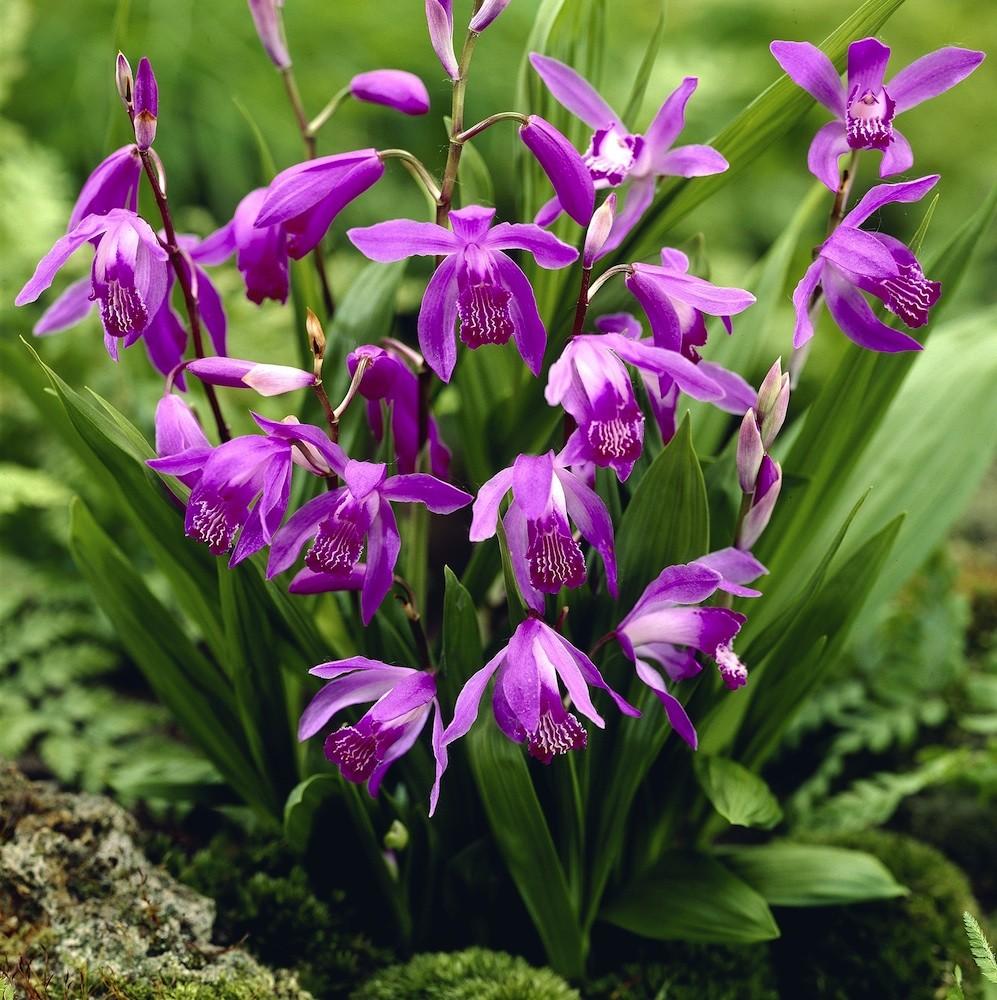 orchidee jacinthe