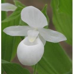 Freiland orchidee Cypripedium reginae 'alba'
