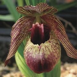 Freiland orchidee Cypripedium smithii