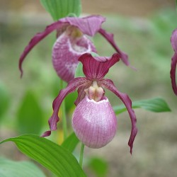 Cypripedium 'Philipp'
