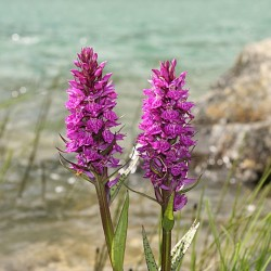 Pink-mauve Garden Orchid ❀ Dactylorhiza alpestris - Dactylorhiza des Alpes ✿ Easy Garden