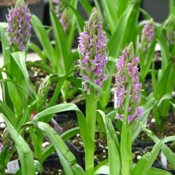 Pink-mauve Garden Orchid ❀ Dactylorhiza Incarnata - Dactylorhiza incarnat ✿ Easy Garden