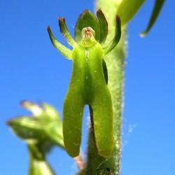 Listera ovata - Großes Zweiblatt