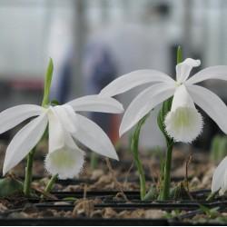Pleione formosana 'alba' - Tibetorchidee formosana 'alba'