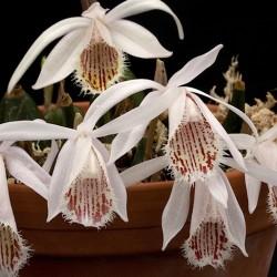 Pink-mauve Garden Orchid ❀ Pleione humilis ✿ Easy Garden