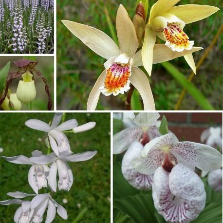 Assortiment Beta - Kit de plusieurs Orchidées de Jardin - Cypripedium, Bletilla et Spiranthes