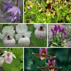 Assortiment 6-pack Noel 2015 - Kit de plusieurs Orchidées de Jardin Cypripedium, Bletilla, Dactylorhiza, et Epipactis