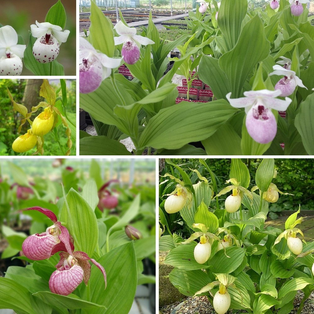 Sortiment von 6 Cypripedium - Frauenschuh Garten Orchideen