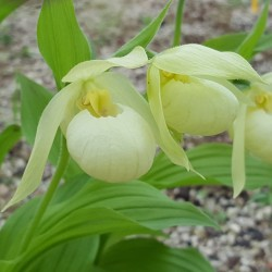 Cypripedium Michael white