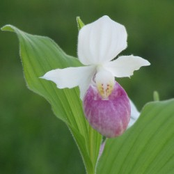 Cypripedium reginae - Duo Pack