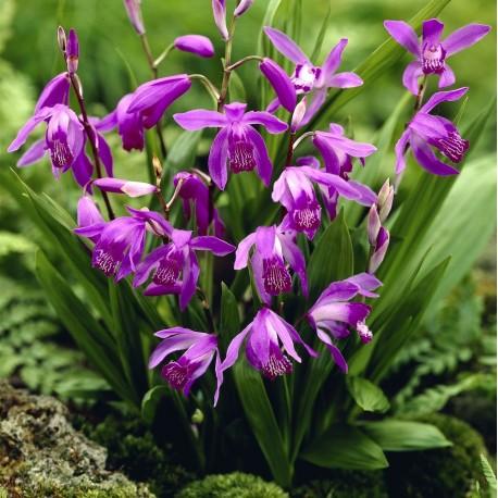 Bletilla striata 'purple' - Duo Pack