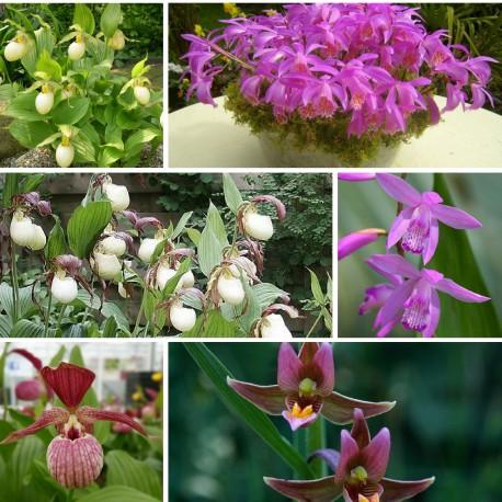 Assortiment 6-pack Black Friday 2016 - Kit de plusieurs Orchidées de Jardin Cypripedium, Bletilla, Dactylorhiza, et Epipactis
