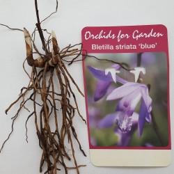 Bletilla striata 'Soryu Blue Dragon' - Orchidée jacinthe bleue