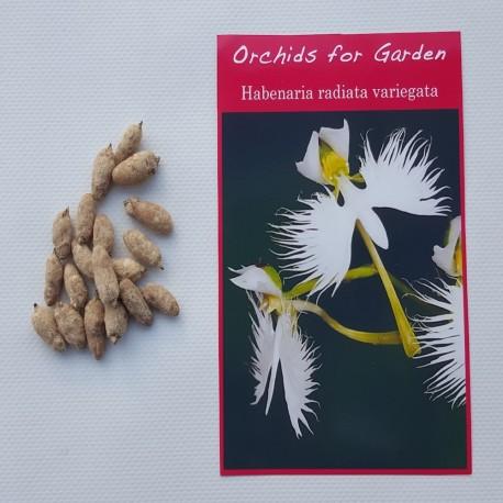 10 bulbes - Habenaria radiata variegata - Orchidée Colombe panachée