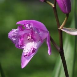 Bletilla striata 'tri-lips' - 'Tri-lips' Japanese Orchis
