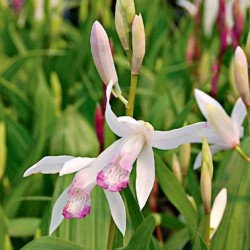 Bletilla striata 'kuchibeni' - Variegated Japanese Orchis