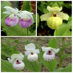Assortiment Famille - Cypripedium 'Ulla Silkens'