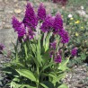 Dactylorhiza purpurella - Duo Pack