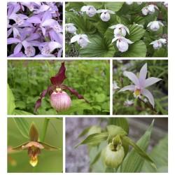 Assortiment 6 Orchidées de jardin