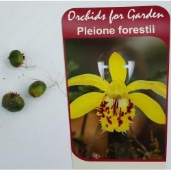 3 bulbes - Pleione forrestii