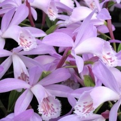 Pleione 'Verdi' - Duo Pack