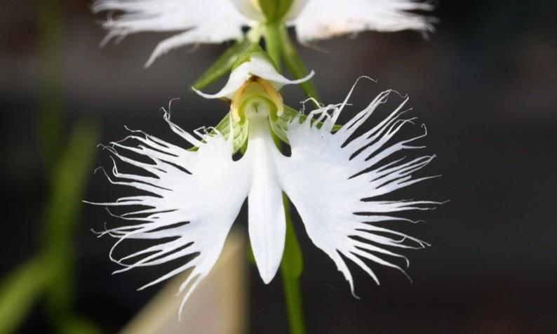 White egret flower habenaria radiata phytesia mightylinksfo